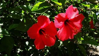 Flowers green hibiscus nature plants wallpaper