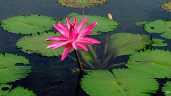 Flowers lily pads pink water lilies wallpaper