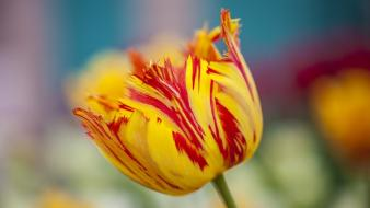 Flowers tulips blurred background wallpaper