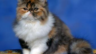 Fluffy persian cat Wallpaper