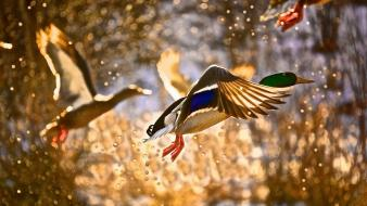 Flying birds ducks bokeh sunlight wallpaper