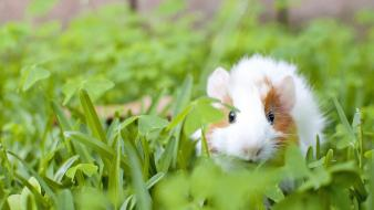 Grass guinea pigs wallpaper