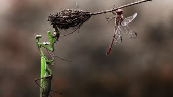 Insects mantis dragonfly macro praying branches wallpaper