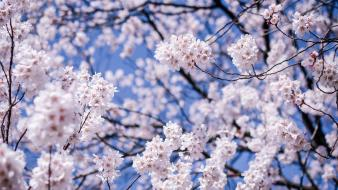Japan cherry blossoms depth of field flowers matsumoto wallpaper