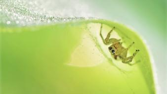 Macro jumping spider Wallpaper