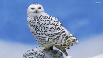 Nature birds animals owls snowy owl wallpaper