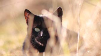 Nature cats animals black cat hunter hunting wallpaper