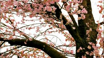 Nature cherry blossoms trees flowers spring wallpaper