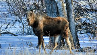 Nature snow trees animals cold wildlife moose wallpaper