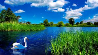 Swans lakes wallpaper