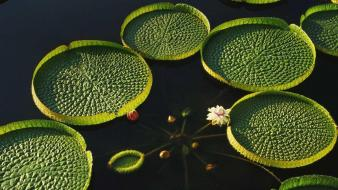 Water nature lily pads lotus flower wallpaper