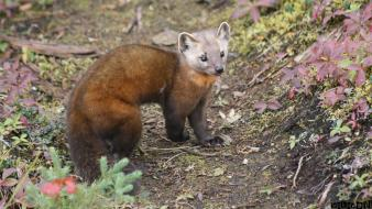 Animals american marten Wallpaper