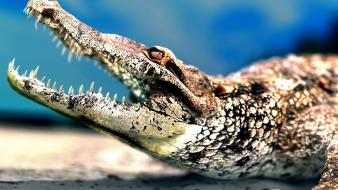 Animals crocodiles mouth sharp teeth wallpaper