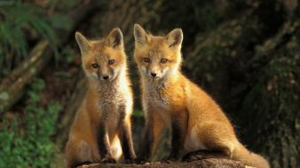 Animals cubs foxes wallpaper