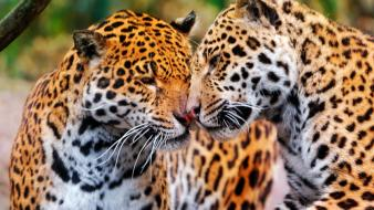 Animals jaguar jaguars wallpaper