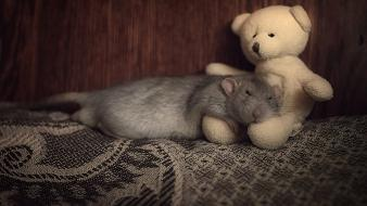Animals mice rats sleeping stuffed Wallpaper