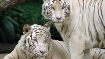 Animals tigers white tiger snow siberian wallpaper
