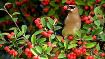 Birds berries waxwing wallpaper