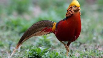 Birds golden pheasant wallpaper