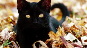 Cats animals black cat wallpaper