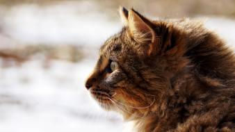 Close-up nature snow cats animals kittens ears pet Wallpaper