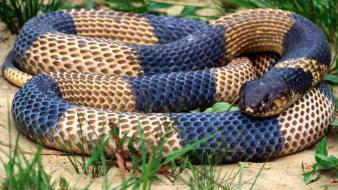 Cobra animals grass snakes egyptian reptiles wallpaper