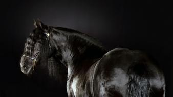 Friesian animals black horses wallpaper