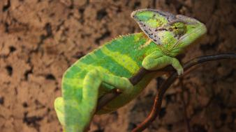 Green reptiles chameleon wallpaper