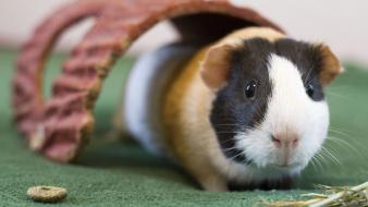 Guinea pigs wallpaper