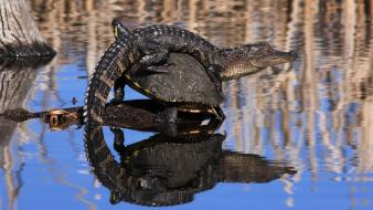 National geographic alligators animals lakes nature wallpaper
