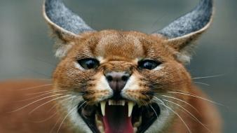 Nature animals screaming caracal scream Wallpaper