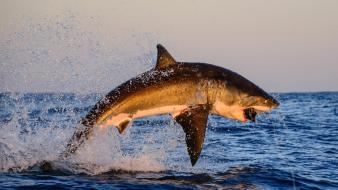 South africa animals great white shark jumping Wallpaper