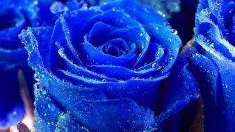 Water blue nature flowers wet drops roses rose Wallpaper