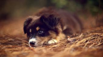 Animals dogs puppies australian shepherds wallpaper