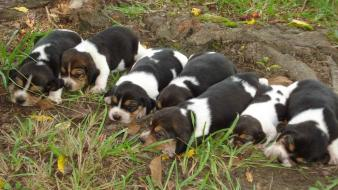 Animals dogs puppies beagle wallpaper