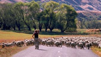 Animals landscapes nature roads sheep wallpaper