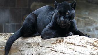 Animals panthers wallpaper