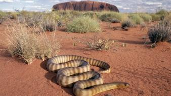 Animals snakes uluru australia outback wallpaper