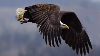 Birds animals eagles bald wallpaper