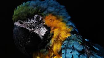 Blue-and-yellow macaws animals birds black background parrots wallpaper
