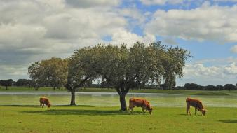 Clouds trees cows wallpaper