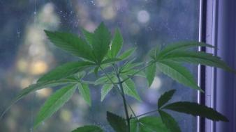 Drugs leaves marijuana plants weeds wallpaper