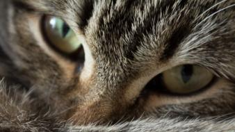 Eyes cats wallpaper