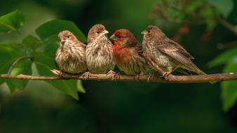 Finches birds finch four nature wallpaper