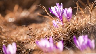 Flowers spring crocus wallpaper