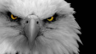 Nature birds animals eagles bald wallpaper