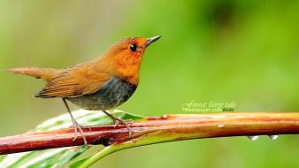 Nature birds animals japanese branches robins wallpaper