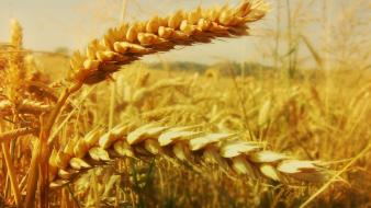 Nature fields wheat plants flora wallpaper