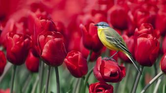 Nature red birds tulips wagtails Wallpaper
