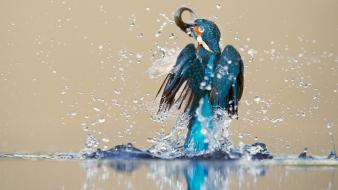 Animals birds kingfisher splashes water Wallpaper